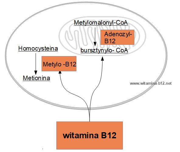 witamina b12 dzialanie