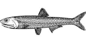 zrodlo B12 ryby